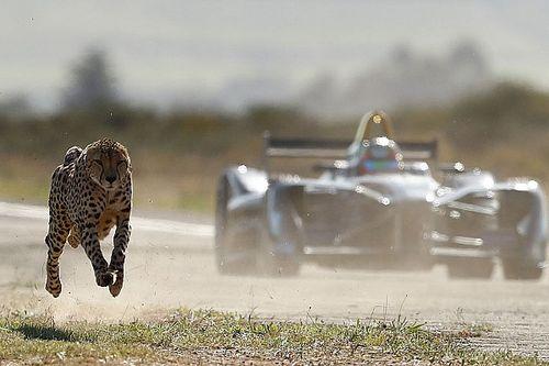 VIDEO: un guepardo enfrenta a un Fórmula E