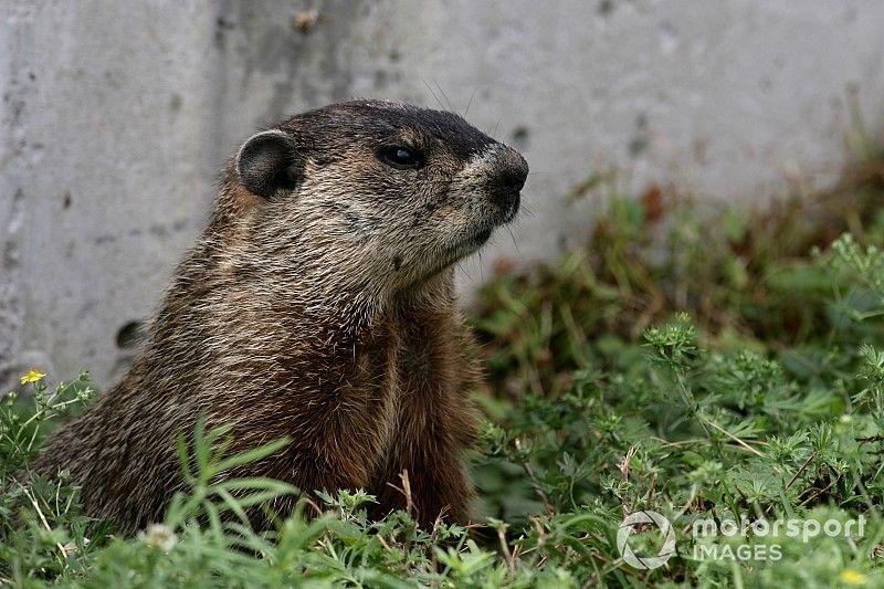 Vídeo: una marmota volvió a colarse en la pista en el GP de Canadá