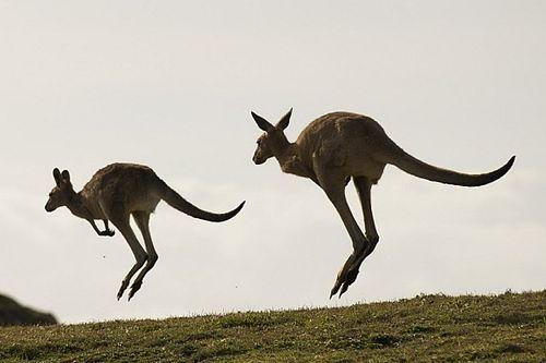 Кенгуру как сейфти-кар и летающая Lambo: безумный уик-энд в Австралии