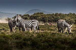 Safari warte długiej umowy