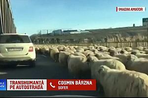 Videó: Székely viccnek tűnik, de nem az: autópályán terelgette a nyáját a román pásztor