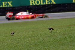 Kimi Raikkonen, Ferrari SF16-H passe devant deux oiseaux