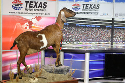 Die neueste Überraschung von Eddie Gossage, Streckenchef des Texas Motor Speedway: eine ausgestopfte