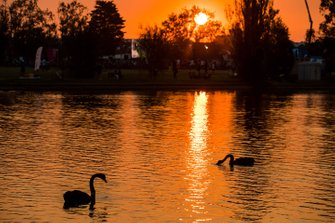 Sunset and black Swans