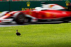 Sebastian Vettel, Ferrari SF16-H bir ördeği geçiyor