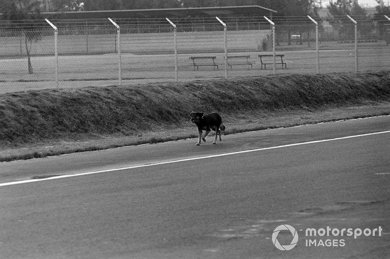 Debido al sobrecupo en ese GP, no solo entraron fanáticos, también varios perros que comenzaron a corretear a los monoplazas en la pista, pero en la zona de las 'eses' uno de estos canes fue embestido por el piloto inglés Jackie Stewart, quien no pudo esquivarlo y lo arrolló, motivo por el cual tuvo que retirar de la competencia al quedar dañado su auto.