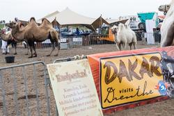 Kamelen in bivak van Gamma Racing Day