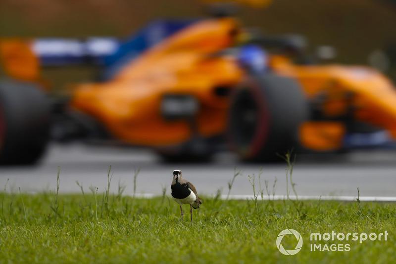 Fernando Alonso, McLaren MCL33, pasa un pájaro brasileño