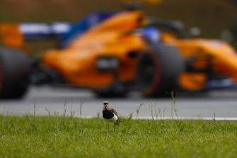 Fernando Alonso, McLaren MCL33, passes a Brazilian bird.