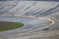 A squirrel on the old banking of Monza