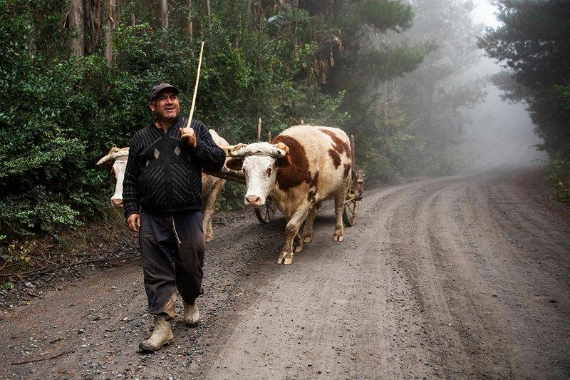 Granjero con vacas en el camino