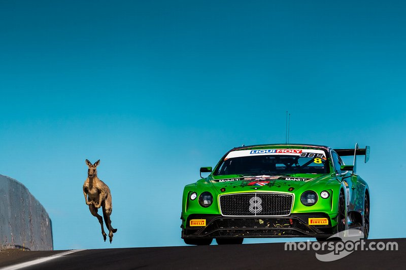 #8 Bentley Team M-Sport Bentley Continental GT3: Alex Buncombe, Oliver Jarvis, Sebastian Morris with a kangaroo on the track