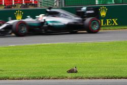 Lewis Hamilton, Mercedes AMG F1 Team W07 passe un canard