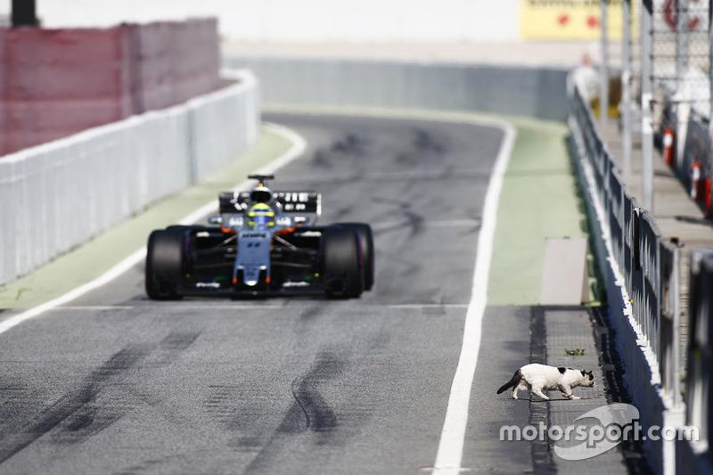 Кот перебегает дорогу гонщику Force India Серхио Пересу на пит-лейне