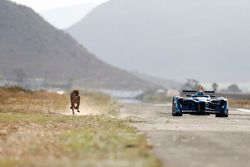 A cheetah races a Formule E car