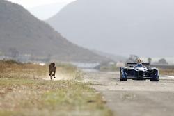 A cheetah races a Formule E car
