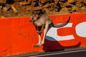 Kangaroo on the track