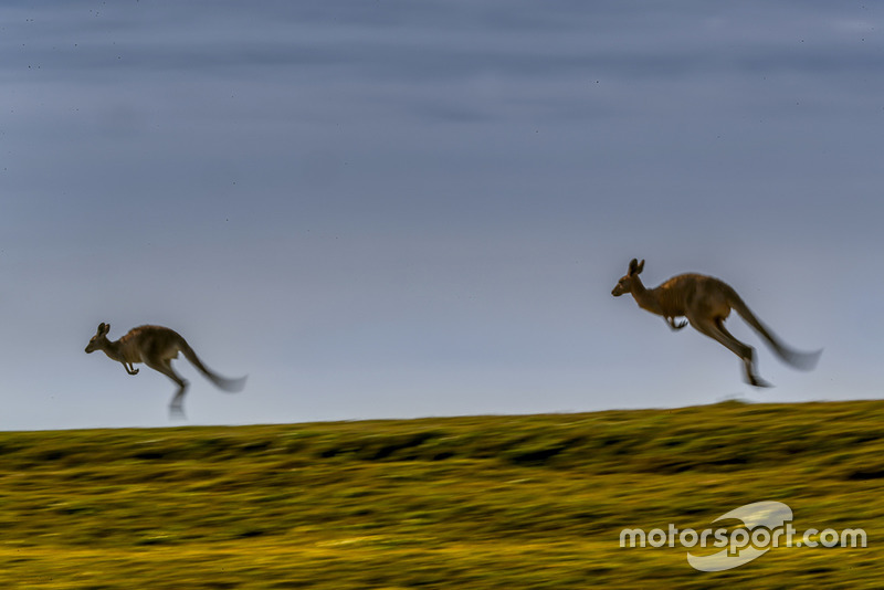 Atmosfera al Rally d'Australia - canguri