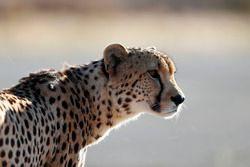 Un guépard