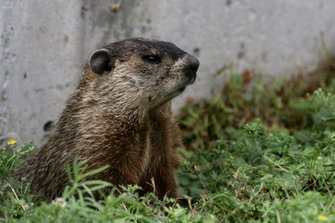 Marmota monax. also known as a groundhog, woodchuck, or marmot