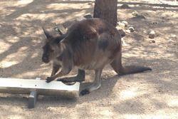 Un kangourou du zoo de Melbourne