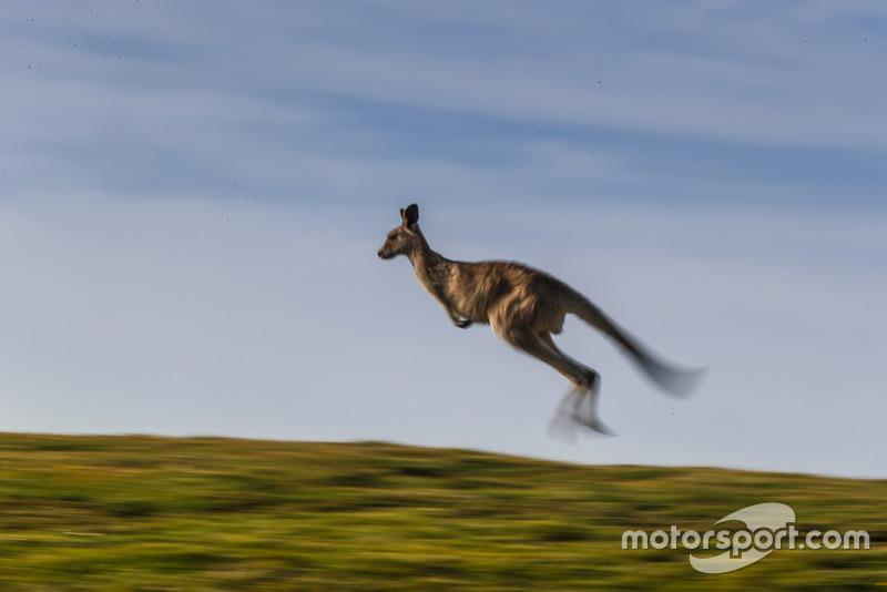 Atmosfera al Rally d'Australia - canguro