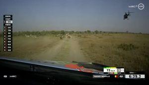 Neuville Zebra