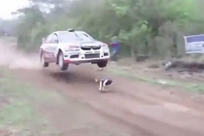 VÍDEO: Cachorro invade pista de rali e escapa da morte
