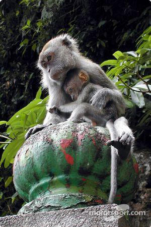 Mono con bebé en Batu cave