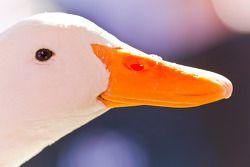 L'Aflac duck se montre