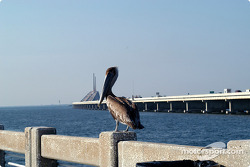 Pelican on Sunshine Skyway Bridge