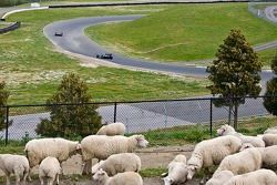 Track-side sheep