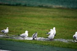 seagulls enjoy rain