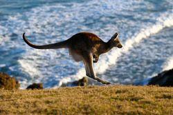 Un canguro en la playa