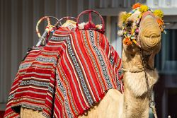 A camel enjoys post-race celebrations
