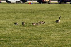 All share the grounds with geese