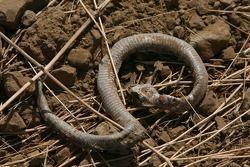 Un serpent mort