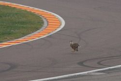 Rabbit on the track
