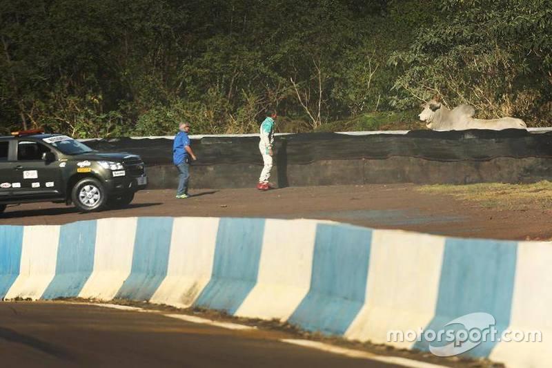 Una toro en el área de pista de carreras de Cascavel, al lado de la curva Bacião