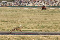 Una liebre saltando invade el circuito