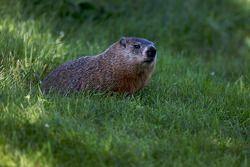 Una marmota observa la acción en pista