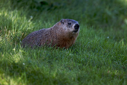 A groundhog watches the track action