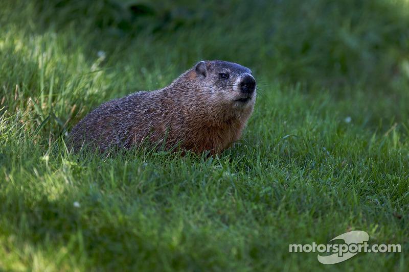 Une marmotte sur le circuit