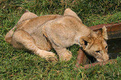 Lion cub at the Rhino and Lion Nature Reserve